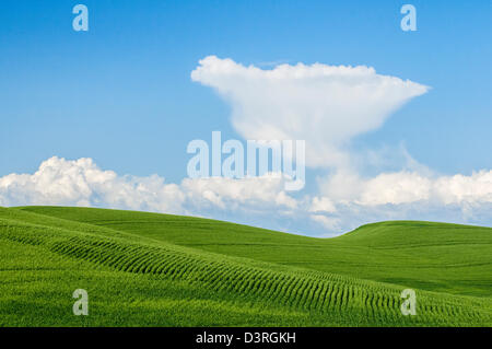 Green field of wheat and cumulous clouds in blue sky; Palouse, Washington. - Stock Photo