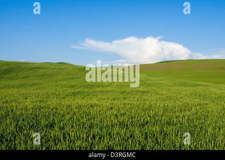 Field near Uniontown, Palouse wheat country, Washington. - Stock Photo