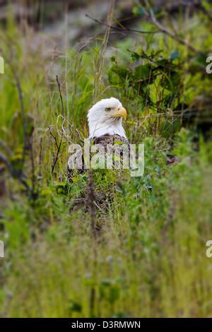 Mature Bald Eagle, Deep Creek State Recreation Area, Ninilchik, Kenai Peninsula, Alaska, USA - Stock Photo