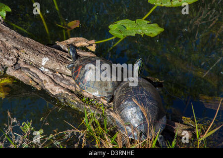 Two turtles on log along the Anhinga Trail at the Royal Palm Visitor Center in Everglades National Park Florida - Stock Photo