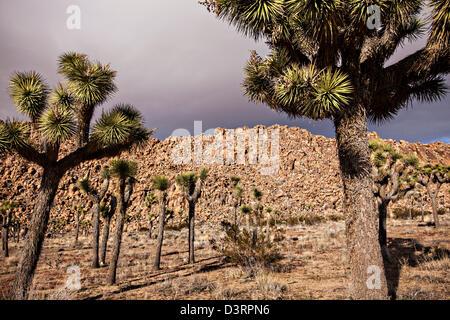 Joshua trees in Joshua Tree National Park, California. - Stock Photo