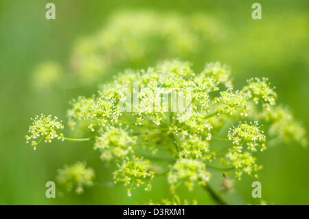 Angelica plan. Close-up .Shallow depth-of-field.  - Stock Photo
