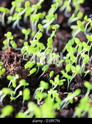 Group of sprouts in soil - Stock Photo