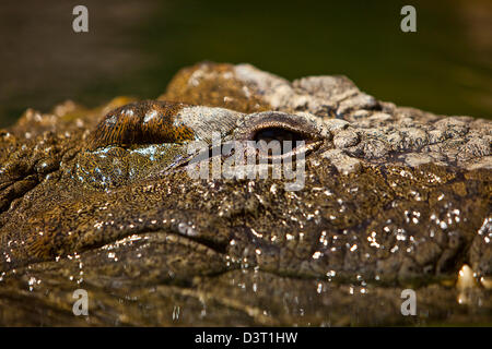 Crocodile eye in water, Durban, South Africa - Stock Photo
