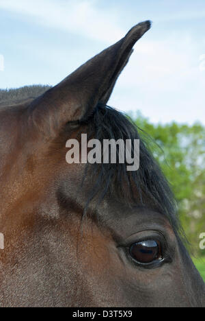 Horse eye and ears in side view close up, black eye on a dark Morgan horse, shallow DOF. - Stock Photo