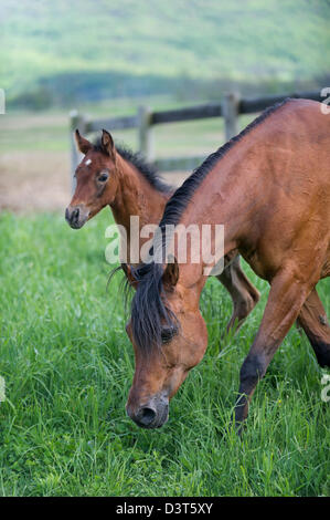 Arabian bay mare and foal in sunny field - Stock Photo