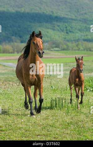 Arabian bay mare and foal running in sunny field with mountain background. - Stock Photo