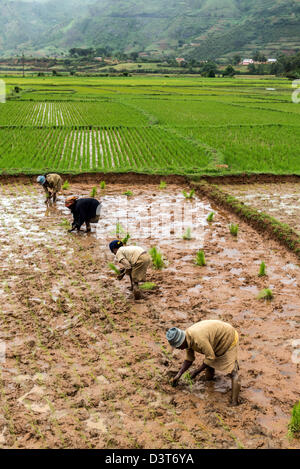 Women working on paddy fields in the Highlands Madagascar - Stock Photo