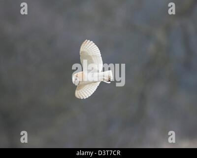 Barn Owl in flight - Stock Photo
