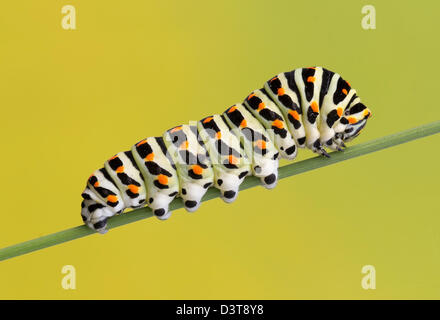 Caterpillar of the swallowtail butterfly (Papilio machaon) - Stock Photo