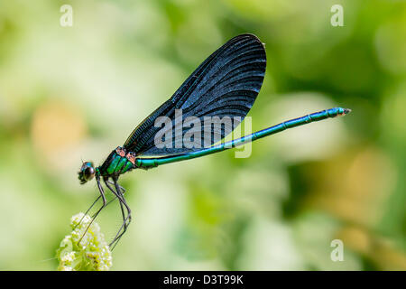 Dragonfly, Banded Demoiselle (Calopteryx splendens) - Stock Photo