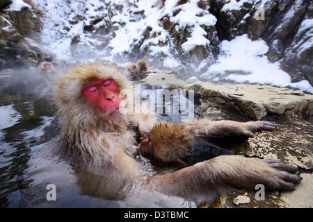 A Japanese Macaque relaxes in the hot spring protecting its young. - Stock Photo