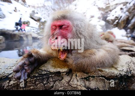 A Japanese Macaque relaxes in the hot spring and lets out a big yawn. - Stock Photo