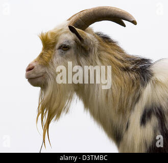 (dpa file) - The picture shows a colourful brindled he-goat (Lat.: Capra hircus) with impressive horns and a long - Stock Photo