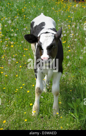 Calf standing and looking at camera in green summer grass, a young black and white Holstein cow close up. - Stock Photo