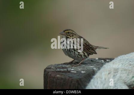 Belding's Savannah Sparrow (Passerculus sandwichensis) on a post at Bolsa Chica, California - Stock Photo