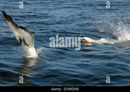 Northern Gannets diving for fish in ocean. - Stock Photo