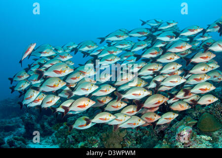 Shoal of Humpback Red Snapper, Lutjanus gibbus, Felidhu Atoll, Maldives - Stock Photo