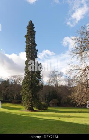 Single tall Wellingtonia tree or sequoia big tree growing in an open walled country estate best specimen in Kent coniferous
