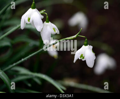 galanthus desdemona snowdrop snowdrops winter closeup plant portraits white green markings flowers blooms bloom - Stock Photo