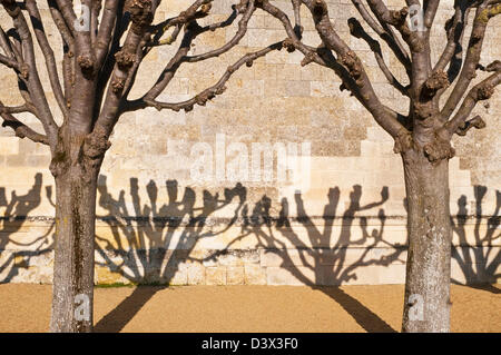 Pollarded Lime / Tilleul trees and shadows on wall - France. - Stock Photo