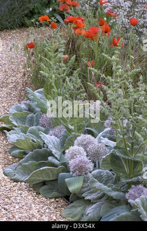 Salvia argentea and Allium karataviense forming a silver edge to a border with bright wild poppies alongside a gravel - Stock Photo