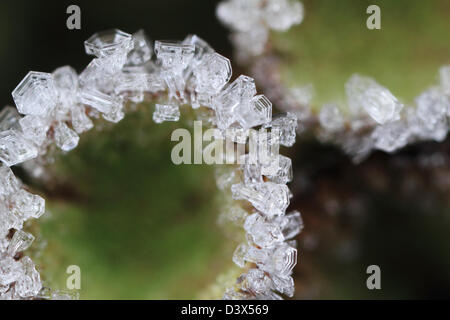 Hoar frost crystals on the rim of a cup lichen. Photographed in Frederikshaab Plantation, Denmark - Stock Photo