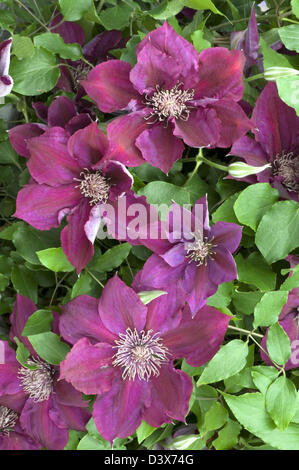 Clematis 'Picardy' an early, large flowered variety with Plant Breeders' Rights - Stock Photo