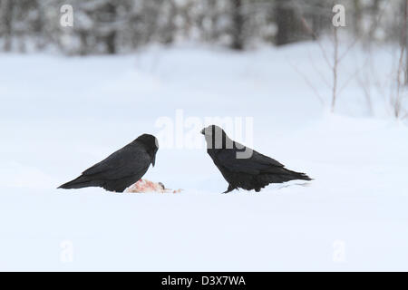 Common Raven (Corvus corax) feeding on carrion in the snow. Photographed in Västerbotten, Sweden. - Stock Photo