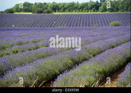 Fields of Lavender in full bloom. Cotswolds, UK. - Stock Photo