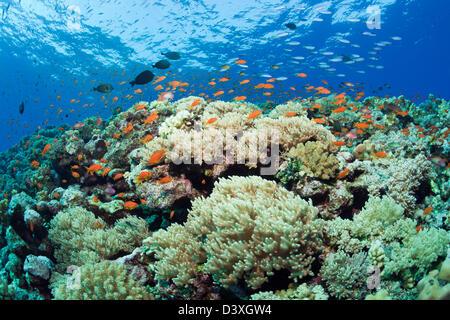 Lyretail Anthias over Coral Reef, Pseudanthias squamipinnis, St. Johns Reef, Red Sea, Egypt - Stock Photo