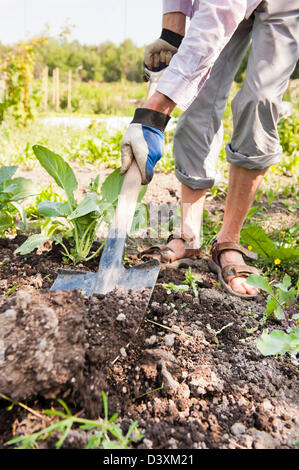 Man digging in the soil with spade, growing Kohlrabi (German turnip) - Stock Photo