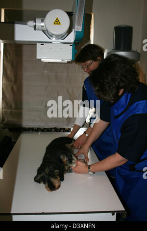 A Dachshund wirehaired dog receiving an x-ray by a veterinarian - Stock Photo