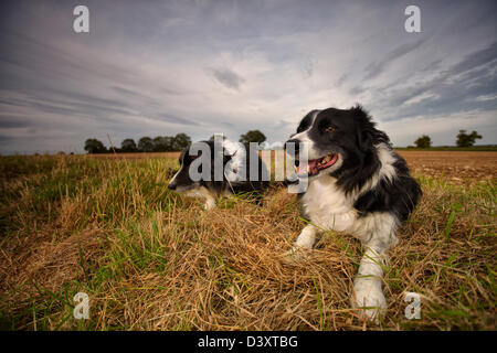 Two border collies sitting down in open countryside - Stock Photo
