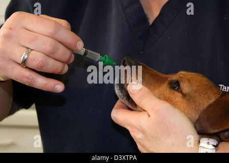 The veterinary vaccine against kennel cough a Jack Russel Terrier dog - Stock Photo