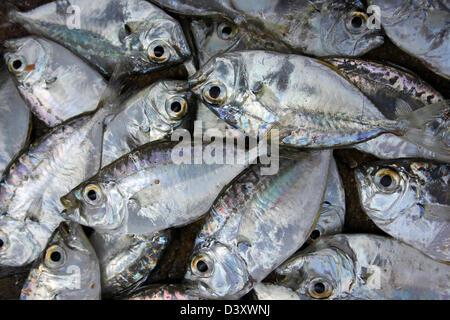 Fresh Fish For Sale At Negombo Fish Market - Stock Photo