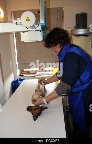 A Jack Russel Terrier dog receiving an x-ray by a veterinarian - Stock Photo