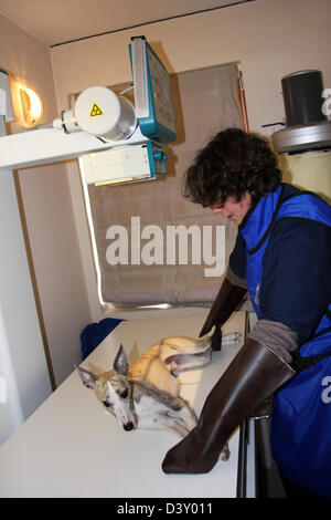 A Whippet dog receiving an x-ray by a veterinarian - Stock Photo