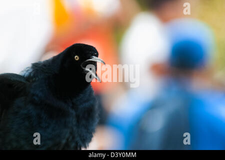 This is the 'cacá' (aka talingo) in panamanian jargon... a bird of the city - Stock Photo