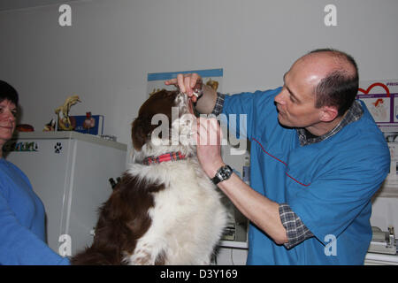 Dog Border Collie /  veterinarian examines in mouth - Stock Photo