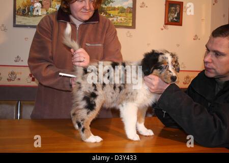 Veterinary taking temperature to a Dog Australian shepherd / Aussie - Stock Photo