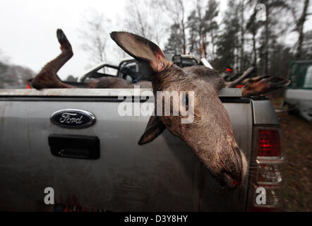 Lehnitz, Germany, place killed deer depends on the loading area of a car - Stock Photo