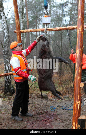 Lehnitz, Germany, place killed boar weighed - Stock Photo