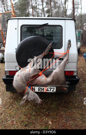 Lehnitz, Germany, place killed deer is tied to the rear of a car - Stock Photo
