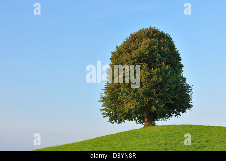 Lime Tree on Hill in Summer, Switzerland - Stock Photo