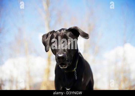 Mixed Breed Labrador Retriever, British Columbia, Canada