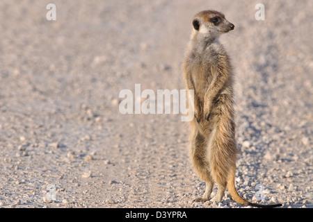 Meerkat (Suricata suricatta), standing on gravel road, Kgalagadi Transfrontier Park, Northern Cape, South Africa, - Stock Photo