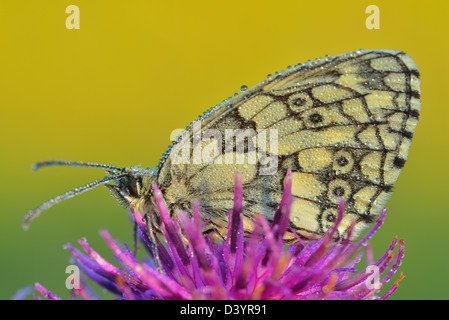 Marbled White Butterfly on Flower, Karlstadt, Franconia, Bavaria, Germany - Stock Photo