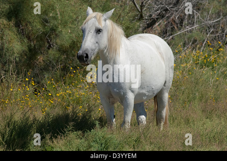Camargue White Horse near Aigues Mortes in the Gard (30) departement of France - Stock Photo
