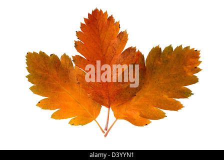 Three leaf of a rowan-tree are photographed on the white background - Stock Photo
